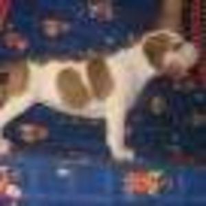 Продаются породистые щенки амстаффа с родословной.