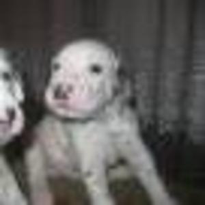 Продаются щенки далматина, 1, 5 мес